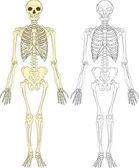 Skeleton illustration — Stock Vector