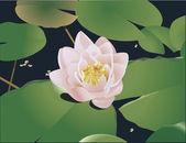 Water lilly illustratie — Stockvector