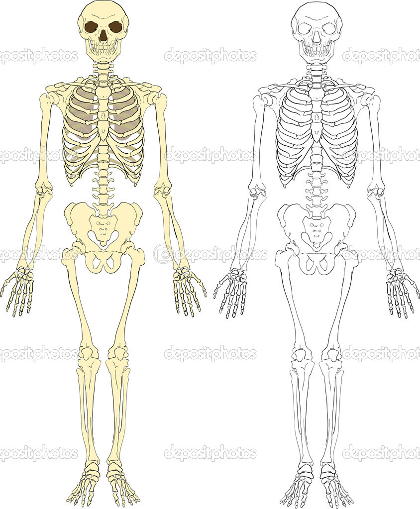 A human skeleton   Stock Vector #6575166
