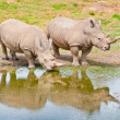Two Rhinozeros Drinking At Lake — Stock Photo
