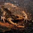 Toad Being Paralysed While Crossing Road — Stock Photo #6504701