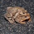 Stock Photo: Couple Of mating Toads Crossing Road