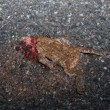 Stock Photo: Roadkilled Toad On Street