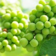 Stock Photo: Growing Grapes On Vineyard