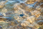 Turtle Hatchling Escaping Into The Ocean — Stock Photo