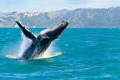Humpback Whale Jumping Out Of The Water — Stock Photo