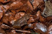 Toad Walking Through Forest — Stock Photo
