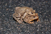 Couple Of mating Toads Crossing Road — Stock Photo