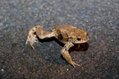 Toad Being Paralysed While Crossing Road — Stock Photo