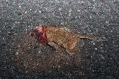 Roadkilled Toad On Street — Stock Photo