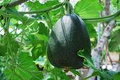 Big Green Pumkin Growing In A Vegetable Garden — Stock Photo