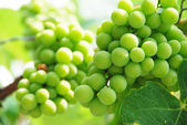 Growing Grapes On Vineyard — Stock Photo