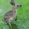 Soaked Kangaroo With Barely Visible Feet — Stock Photo