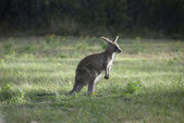 Small Australian Kangaroo At Dawn — Stock Photo