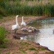 Family of swans — Stock Photo #6470766