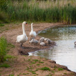 Family of swans — Stock Photo