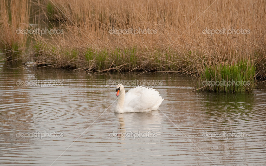 Outdoor photo of a mute swan swimming — Stock Photo #6470716