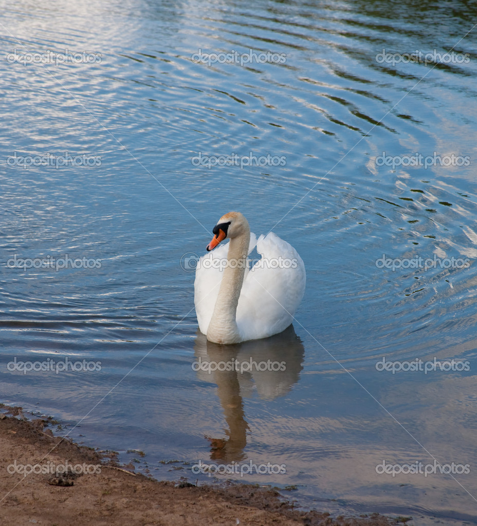 Outdoor photo of a mute swan swimming — Stock Photo #6470734