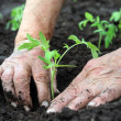 Stock Photo: Planting a tomatoes seedling