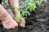 Planting a tomatoes seedling — Stock Photo