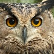 Dusky eagle owl - Stock Photo