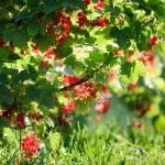 Redcurrant in summer garden — Stock Photo #6444403