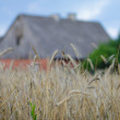 Royalty-Free Stock Photo: Ready rye on harvests in summer