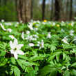 Stock Photo: White anemones in forest