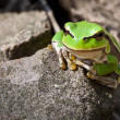 Stock Photo: Curiosity green frog on rock