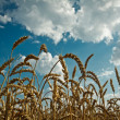 golden wheat and idylic blue sky — Stock Photo
