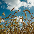 Golden wheat with idylic blue sky — Stock Photo