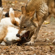 Wolf fighting — Stock Photo