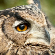 Stock Photo: Dusky eagle owl