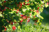 Redcurrant in summer garden — Stock Photo