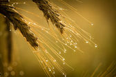 Golden field with dewdrop at sunrise — Stock Photo