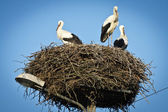 White storks on their nest — Stock Photo
