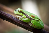 Small green frog on a twig — Stock Photo