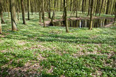 White anemones in forest at pond — Stock Photo