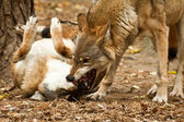 Lobo peleando — Foto de Stock