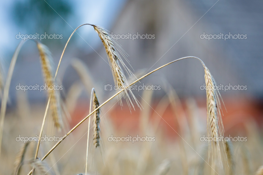 Grain field in the farm — Stock Photo #6444608