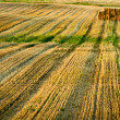 Stubble after harvest at summer — Stock Photo