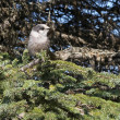 Постер, плакат: Grey Jay in spruce