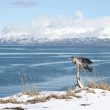 Immature bald eagle in winter - Stock Photo
