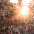 Sunburst through spruce — Stock Photo