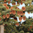 ������, ������: Spruce laden with cones