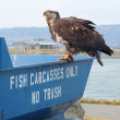 Immature bald eagle on the fish bin — Stock Photo