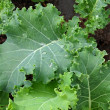 Kale in the garden — Stock Photo