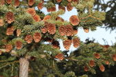 Spruce laden with cones — Stock Photo
