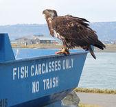 Immature bald eagle on the fish bin — Stock Photo