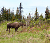 Moose in the spruce — 图库照片
